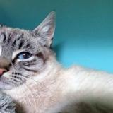Farfadet (réservé), Chaton siamois à adopter