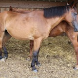 Bulli, Animal cheval à adopter