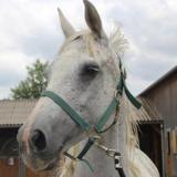 Royal, Animal cheval à adopter