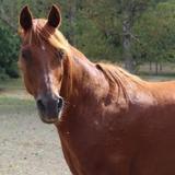 Lou, Animal cheval à adopter