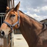 Rebelle, Animal cheval à adopter