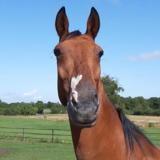 Prag du bois morin, Animal cheval à adopter