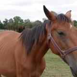 Boreale du phoenix, Animal cheval à adopter