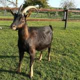 Optica, Animal chevre à adopter