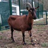Lupé, Animal chèvre à adopter