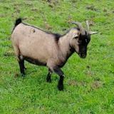 Celenia, Animal chevre à adopter