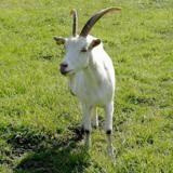 Coccinelle, Animal chèvre à adopter
