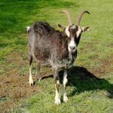 Libellule, Animal chèvre à adopter
