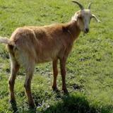 Beyonce, Animal chèvre à adopter