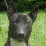 Doug, Chien croisé / autre (berger belge malinois/ bull terrier) à adopter