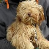 Nutty, Chiot croisé / autre (fox terrier poil lisse/ yorkshire terrier) à adopter