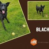 Black, Chien croisé / autre (berger belge malinois/ berger hollandais) à adopter