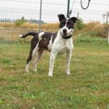Hakira, Chien croisé / autre (dogue argentin/ bull dog americain) à adopter