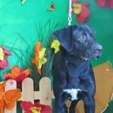 Bobby, Chiot croisé / autre (labrador (retriever)/ berger de beauce) à adopter