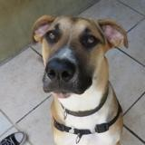 Kuma, Chien croisé / autre (labrador (retriever)/ dogue argentin) à adopter