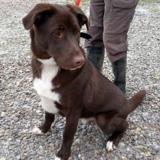 Oxo, Chiot croisé / autre (labrador (retriever)/ husky siberien) à adopter