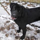 Bobby, Chien croisé / autre (labrador (retriever)/ berger de beauce) à adopter