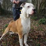 Narcos, Chien croisé / autre (dogue argentin/ bull dog americain) à adopter
