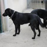 Simba (vidéo), Chien croisé / autre (labrador (retriever)/ golden retriever) à adopter