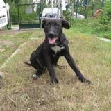 Pablo, Chiot croisé / autre (labrador (retriever)/ staffordshire bull terrier) à adopter