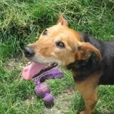 Droopy, Chien croisé / autre (bull terrier/ jack russel terrier) à adopter