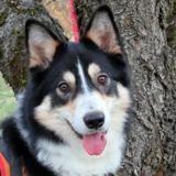 Otis, Chien croisé / autre (berger australien d'amerique/ husky siberien) à adopter