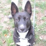 Eureka caa9199, Chiot croisé / autre (berger allemand/ american staffordshire) à adopter