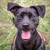 Natsu, Chien croisé / autre (labrador (retriever)/ bouledogue anglais) à adopter
