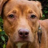 Oria, Chien croisé / autre (berger australien d'amerique/ dogue argentin) à adopter