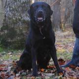 Emji, Chien croisé / autre (labrador (retriever)/ bouvier bernois) à adopter