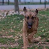 Rea, Chiot croisé / autre (chien courant/ berger belge malinois) à adopter