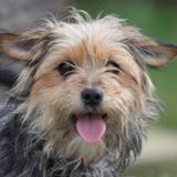 Bachata chao10470, Chien croisé / autre (fox terrier poil dur/ yorkshire terrier) à adopter