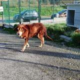 Gringo, Chien croisé / autre (labrador (retriever)/ husky siberien) à adopter
