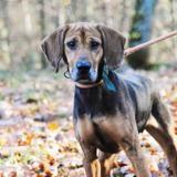 Laïka, Chien croisé / autre (labrador (retriever)/ bruno du jura) à adopter