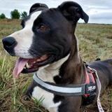 Nina, Chien croisé / autre (american staffordshire/ bull terrier) à adopter