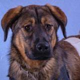 Ruby , Chiot croisé / autre (berger de beauce/ berger du caucase) à adopter