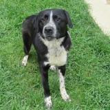 Domino, Chien croisé / autre (labrador (retriever)/ border collie) à adopter