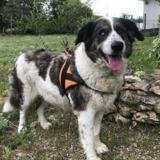 Virlix, Chien croisé / autre (berger australien d'amerique/ montagne des pyrenees) à adopter