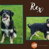 Rex 3, Chiot croisé / autre (berger australien d'amérique/ berger de beauce) à adopter