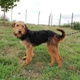 Ninja, Chien airedale à adopter