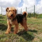 Jodie, Chien airedale à adopter