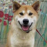 Edo chao7220, Chiot akita inu à adopter
