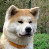 Ina, Chien akita inu à adopter