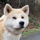 Kitsune, Chien akita inu à adopter