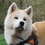 Reiko, Chien akita inu à adopter