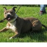 Looky vaa20002, Chien american staffordshire à adopter