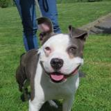 Mabrouck, Chien american staffordshire à adopter