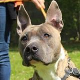 Lou oaa18259, Chien american staffordshire à adopter