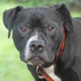Twice black chao9888, Chien american staffordshire à adopter