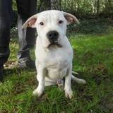 Pitch, Chiot american staffordshire à adopter